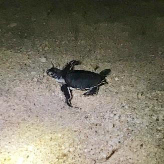 Turtle, Ras al Jinz, Oman
