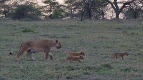 Lion cubs, Serengeti, Tanzania