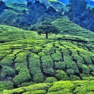 Tea plantations, Cameron Highlands