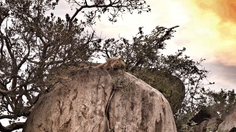 Lion, Serengeti, Tanzania