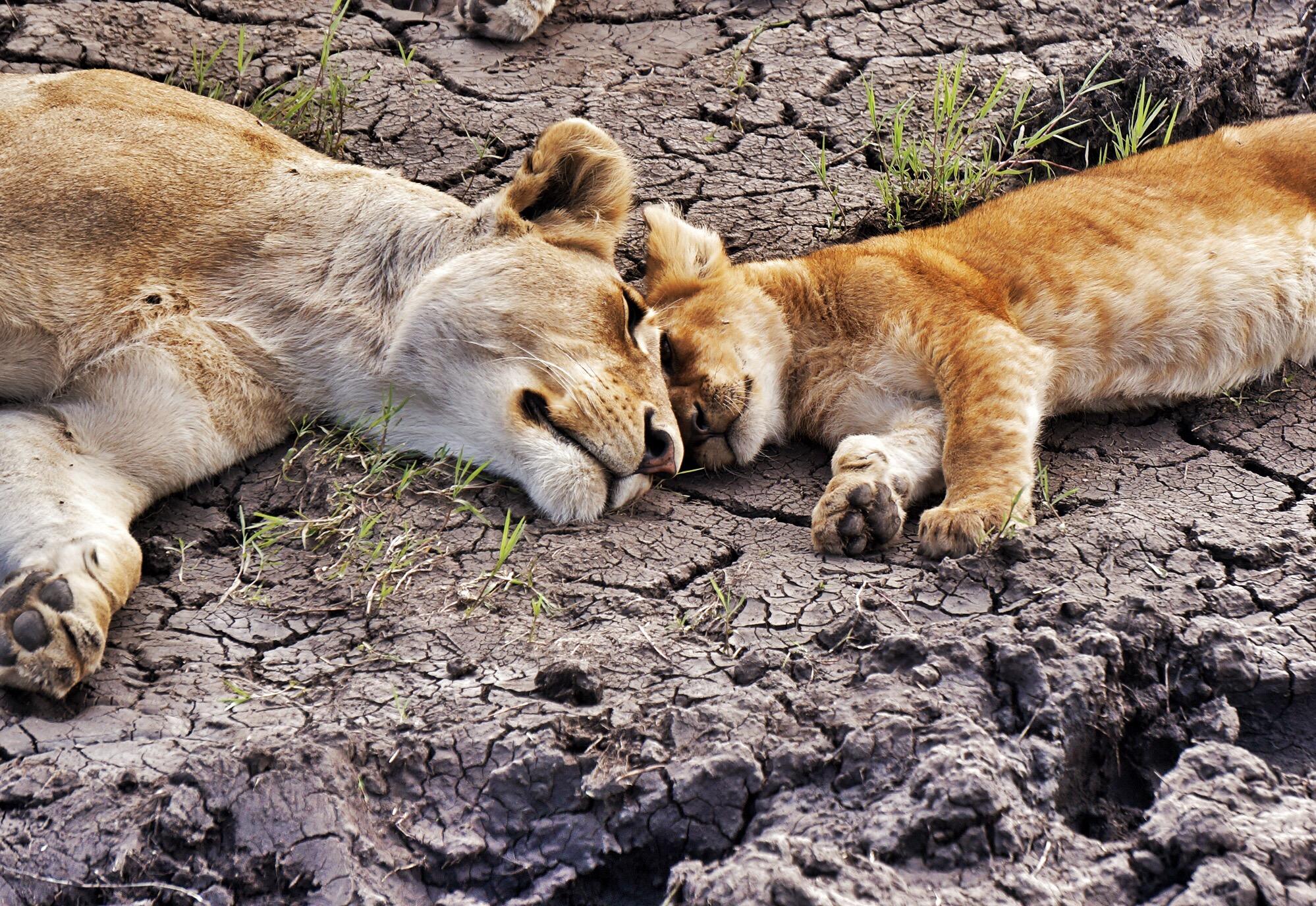 Lion Love, Serengeti, Tanzania