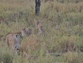 Cheetahs, Serengeti, Tanzania