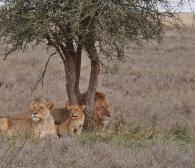 Lion Family, Serengeti, Tanzania